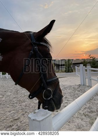 Portrait Of Brown Horse In Paddock Near Wooden Fence At Sunset.