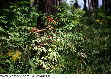 Red Elderberry Sambucus Racemosa On The Branches. Red Elderberry Bush In The Forest. Poisonous Berri