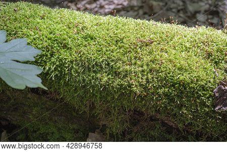 Beautiful Green Moss On The Floor, Moss Closeup, Macro. Beautiful Background Of Moss. Beautiful Gree