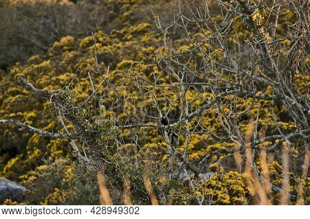 Beautiful Closeup Evening View Of Old Dry Tree Branches And Yellow Gorse (ulex) Wild Flowers Growing