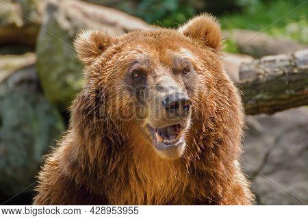 Kamchatka Brown Bear Face Closed Up (ursus Arctos Beringianus)