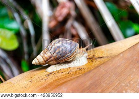 Praslin Snail (pachnodus Praslinus) Sitting On Dry Palm Leaf On Praslin Island, Seychelles.