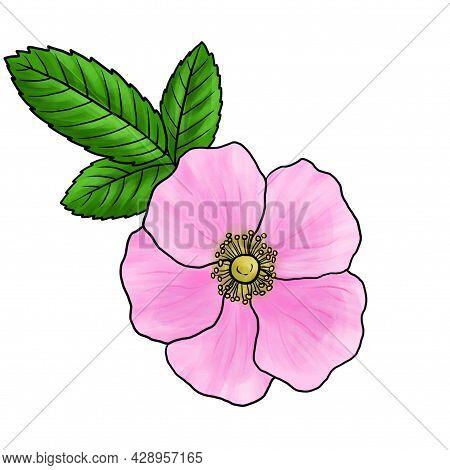 Drawing Flower Of Wild Rose, Rosa Majalis Isolated At White Background, Hand Drawn Illustration