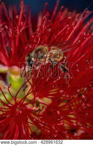 Adult Western Honey Bee
