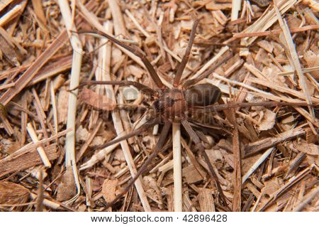 Closeup image of a Brown Recluse, Loxosceles reclusa, a venomous spider camouflaged on dry winter grass
