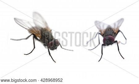 Two Flies On A White Background Close-up With Copy Space, Front And Side View Of A Fly