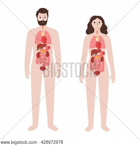 Internal Organs In Man And Woman Body. Stomach, Heart, Kidney, Lungs And Bladder Medical Icon In Hum