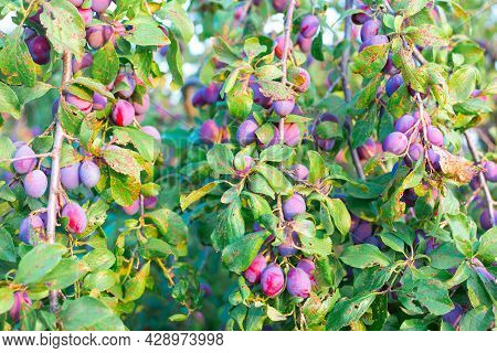 Harvest Plums On Bent Branches Under The Weight Of The Fruit. Delicious Ripe Fruits And Berries For