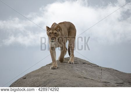 Female Lion Or Panthera Leo Walking On A Big Stone And Looking Into The Camera
