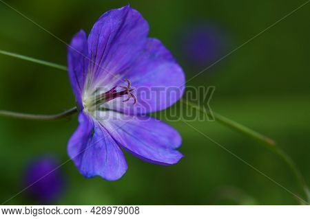 Flower Of Geranium, Cultivated Form With Lilac Blue Petals, Macro Shot With Focus On Pistil And Poll