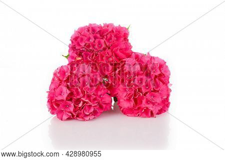 Hortensia flowers on a white background