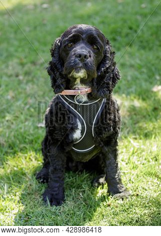 3-years-old Male Cocker Spaniel And Poodle Mix, Aka Cockapoo. Dog Park In Northern California.