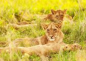 Photo of an African lion cubs , South Africa safari, Kruger National Park reserve, wildlife safari, cute small lioness child, exotic wild nature, mammal wild animal family lying down on green grass poster