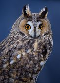 Portrait of Long-eared owl on blue background poster