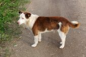 A mixed-breed brown and white dog on the road poster