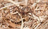 Brown Recluse, a venomous spider in dry winter grass poster