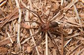 Closeup image of a Brown Recluse, Loxosceles reclusa, a venomous spider camouflaged on dry winter grass poster