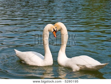 Two White Swans In Love