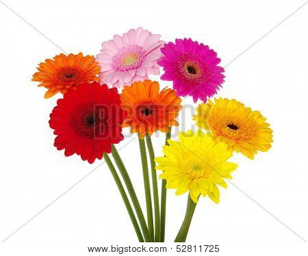 gerbera daisies on a white background