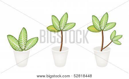 Dieffenbachia Picta Marianne Plant In Three Flower Pot