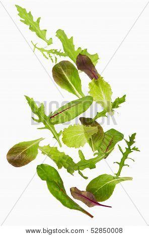 Green lettuce salad leafs