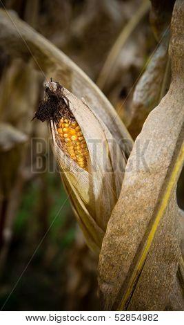 Exposed Corn