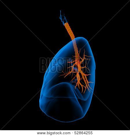 3D medical illustration - lungs with visible bronchi -side view