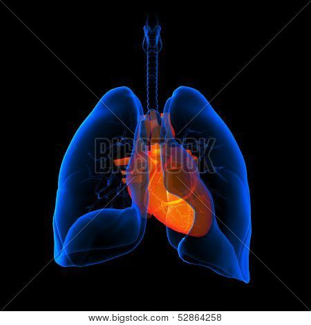 3D medical illustration - lungs with visible heart -back view