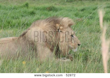 lion relaxing after a meal poster