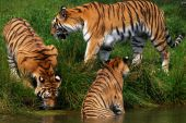 Three Siberian tigers two on the waterside one in the water poster