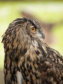 Portrait of a Eurasian Eagle-Owl (bobu bubo) poster