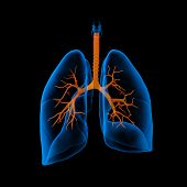 3D medical illustration - lungs with visible bronchi -back view poster