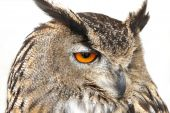 Great Horned Owl portrait with a white background. poster