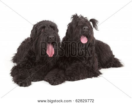 Black Russian Terriers (brt Or Stalin's Dog)