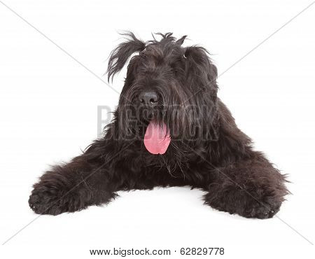 Black Russian Terrier (BRT or Stalin's dog) isolated on white background poster