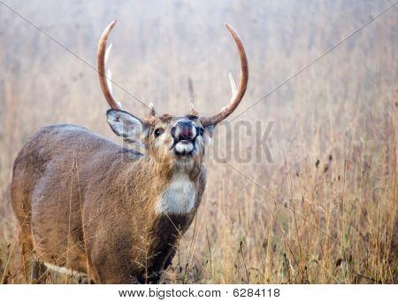 Lip Curling Whitetail Deer Buck