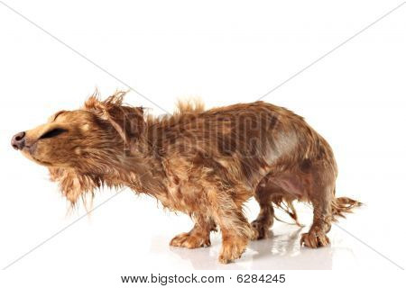 Soaking wet dog shaking dog. Studio isolated focus on the nose. poster