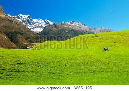 Beautiful landscape of the New Zealand - hills covered by green grass with herds of sheep with mighty mountains covered by snow behind. Glenorchy, New Zealand