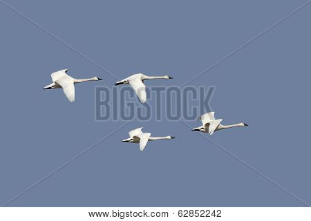 Group Of Tundra Swans In Flight