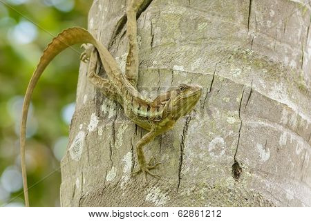 Lizard known commonly as the Jesus Christ Lizard photographed near Quepos Costa Rica. poster