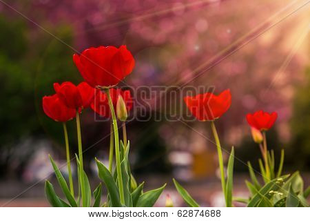 Red Tulip On Color Blurred Background