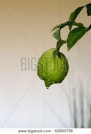Nice natural Image of a Un Ripe lemon Outdoors
