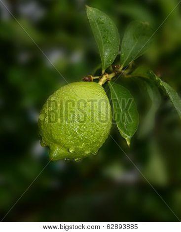 Nice Image of a Un Ripe Natural lemon In the Rain