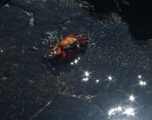 A Red crab sitting on a black rock with the water sparkling like stars in the front poster