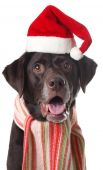 labrador retriever wearing a Santa hat and scarf. Studio isolated. poster