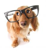 Smart Dachshund with glasses isolated on white. poster