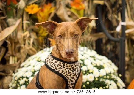 Mixed Breed Dog With Autumn Decorations