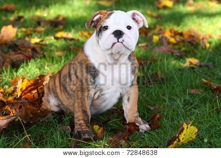 English Bulldog puppy in grass with leaves