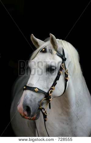 Andalusian Horse On Black