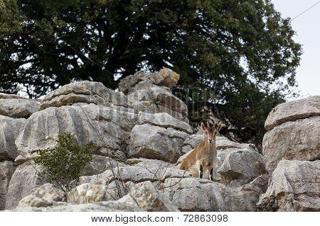 Mountain Goats At El Torcal National Park